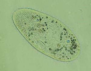paramecium -1