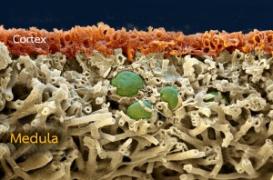 Lichen, Xanthoria flammea, cross section SEM