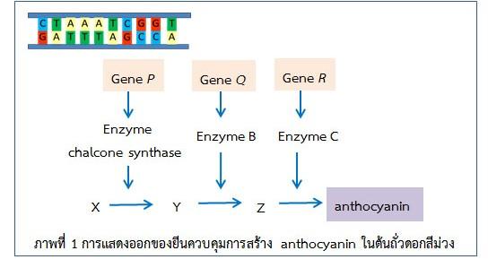 ภาพ1 genetics misconception