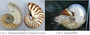 หอยงวงช้างมุก
